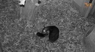 Narodziny myszojelenia we wrocławskim ogrodzie zoologicznym
