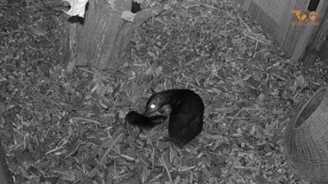 """Tak rodzi się myszojeleń. """"Narodzin tego rzadkiego zwierzęcia jeszcze nikt nie uwiecznił"""""""