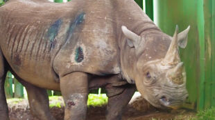 """Nie żyje Fausta. """"To był najstarszy nosorożec na świecie"""""""