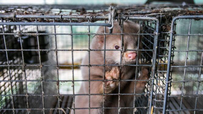 Prawie 60 ferm norek w Holandii z koronawirusem. Kolejne zwierzęta zostaną zabite