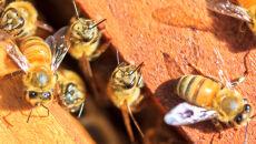 """W USA wymarło ponad 40 proc. pszczół. <br />""""Dają nam znak, że dzieją się złe rzeczy"""""""